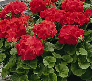 Cardenal Geranio p.hortorum Elite red