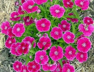 Clavelina Dianthus chinensis