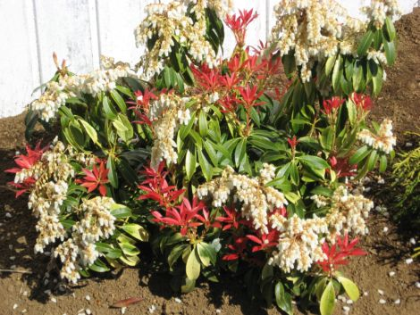 Pieris formosa forrestii