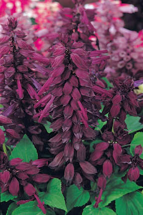 Salvia splendens royal purple