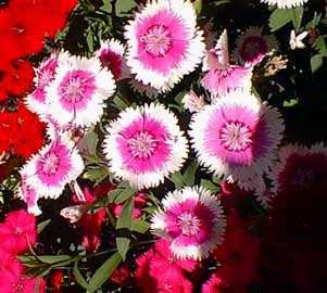 Clavelina dianthus chinensis dos colores